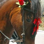 Horse-with-rose-