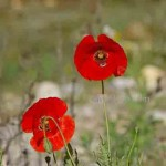 Spring Poppies Rio Chillar