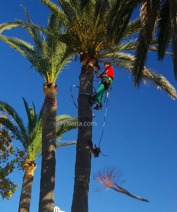 Balcon De Europa Nerja Palms Getting Pruned