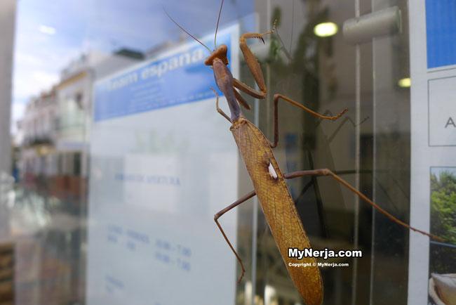 Praying Mantis Nerja