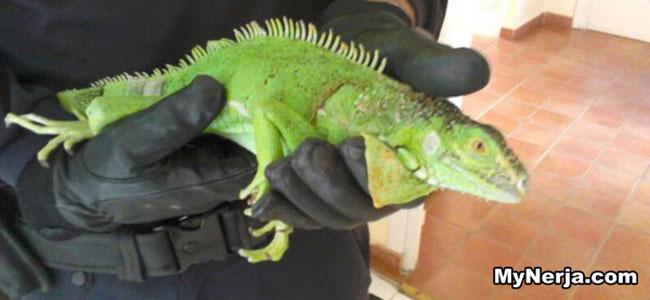 Iguana Nerja